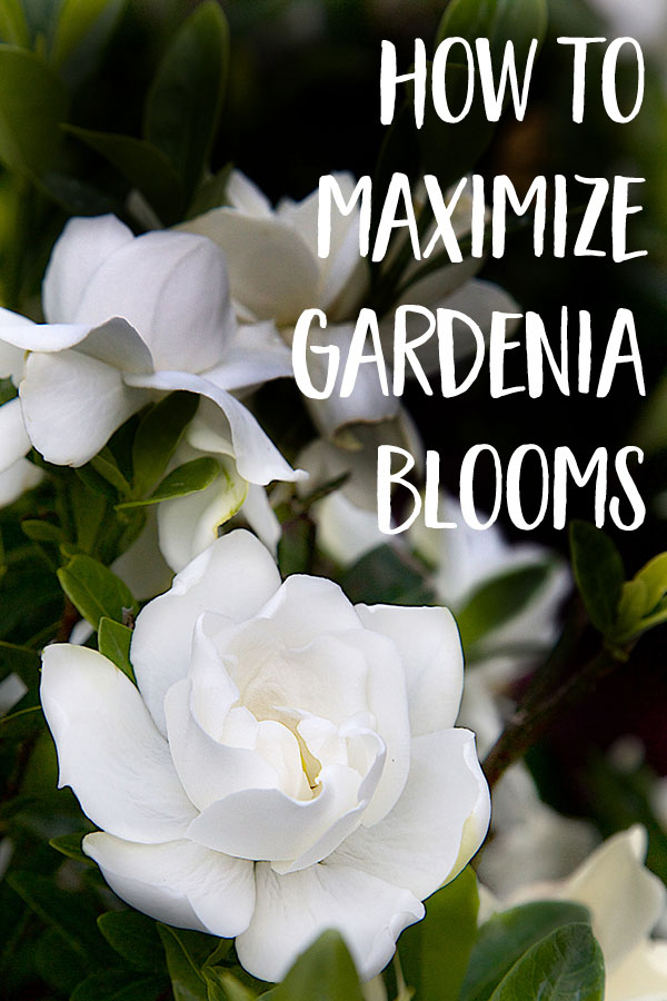 How To Maximize Gardenia Blooms Gardenia Plant Gardenia Trees Growing Gardenias