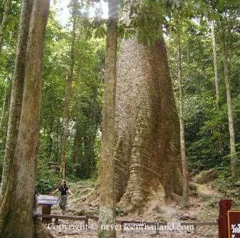 Biggest Teak Tree In The World Google Search Botanical