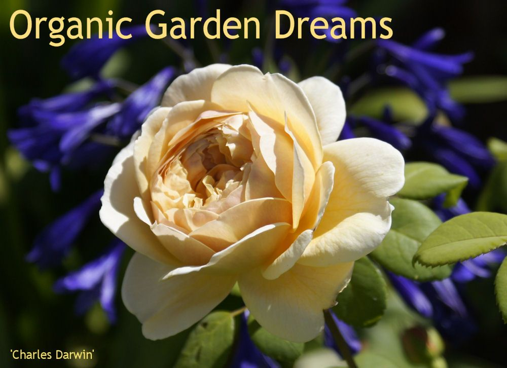 Christina loves roses and it shows in her beautiful rose garden blog.