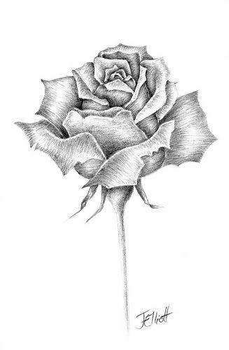 Flowers for single rose pencil drawing