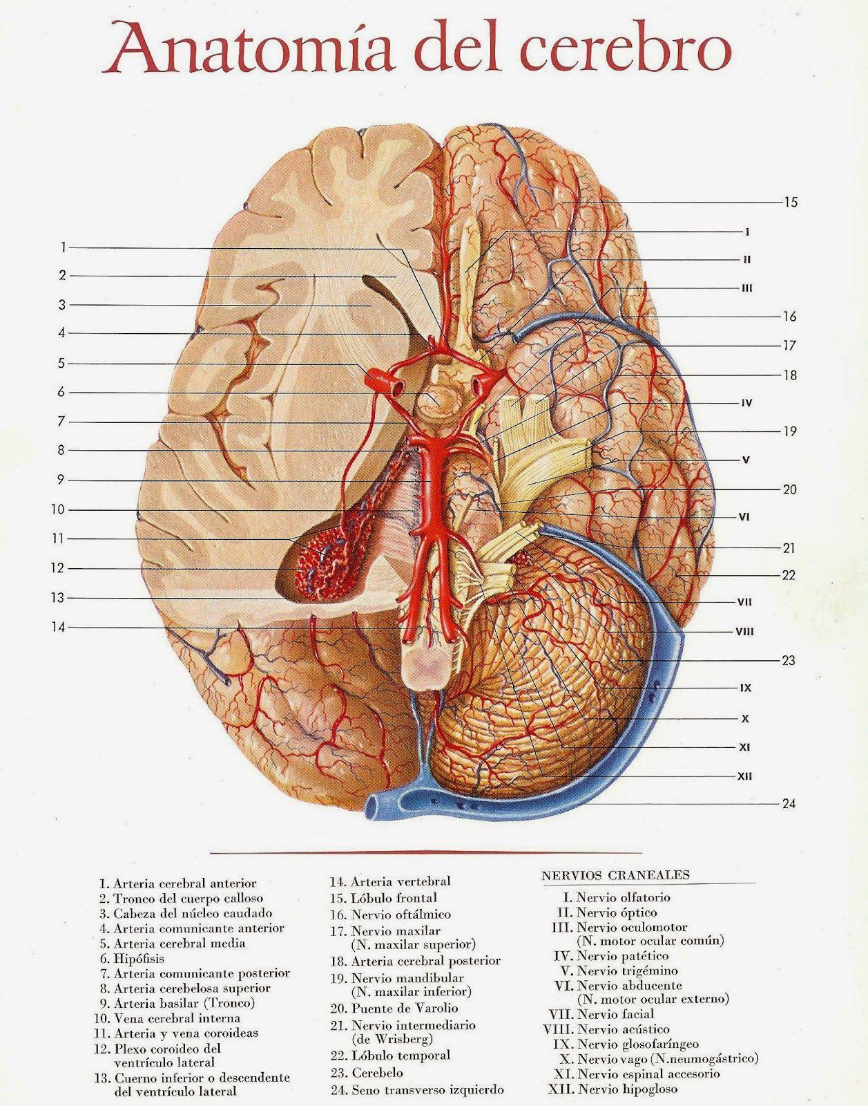 anatomia+del+cerebro+001.jpg | anatomía - biologia | Pinterest ...