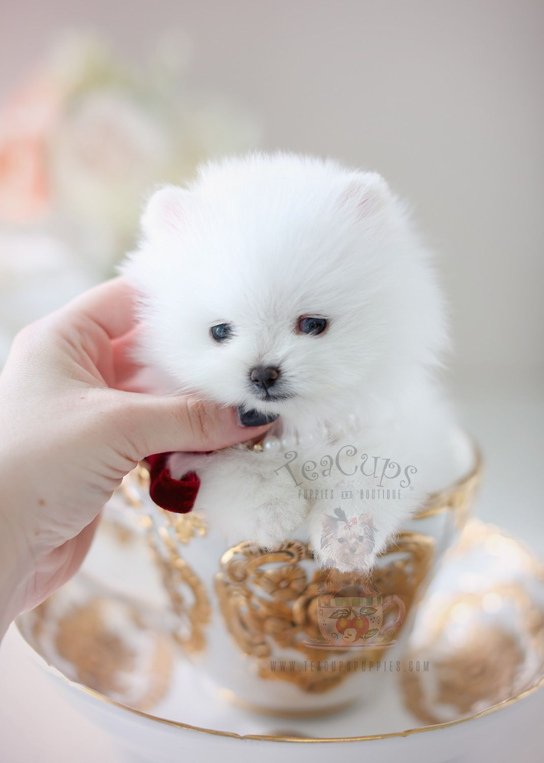 Snow White Teacup Sized Pomeranian Puppy By Teacup Puppies And Boutique Home Raised And Locally Bred In South Florida Teacuppomeranian Pom Cuccioli Animali