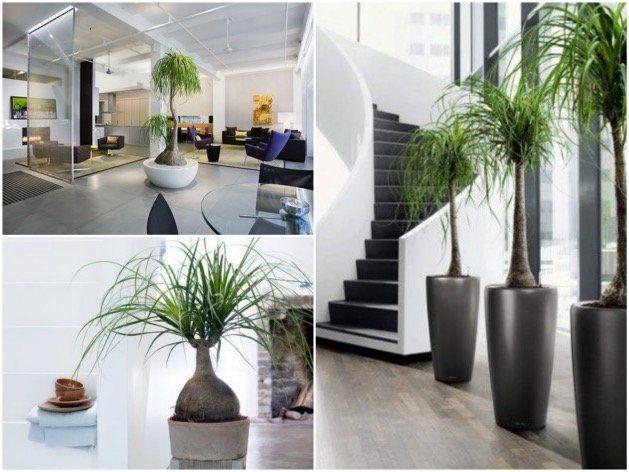 Arbuste Palmier Pied Du0027éléphant Choisir Sa Plante Du0027intérieur