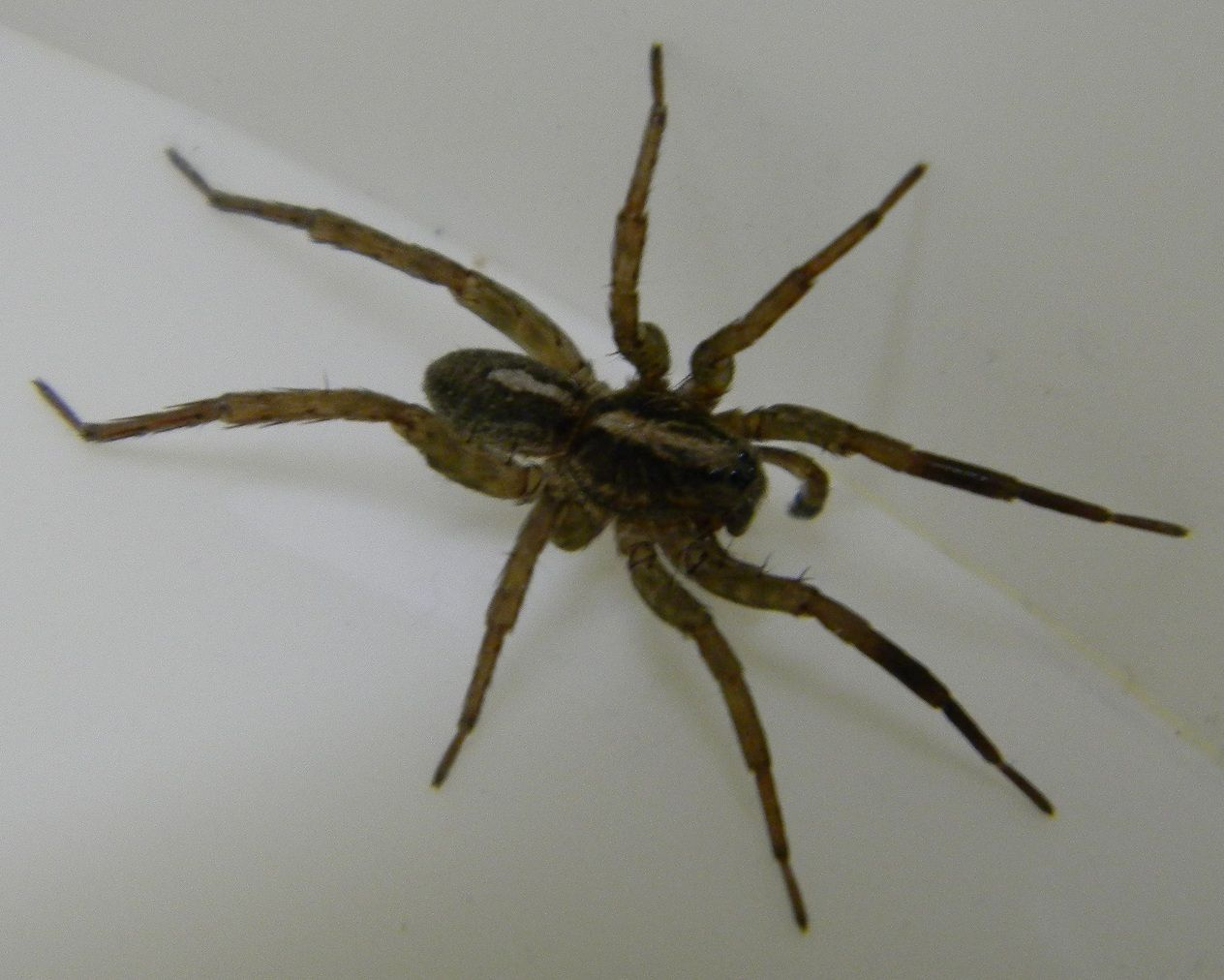 Wolf Spiders In Michigan Michigan Spiders Wolf Spider 3 Hair
