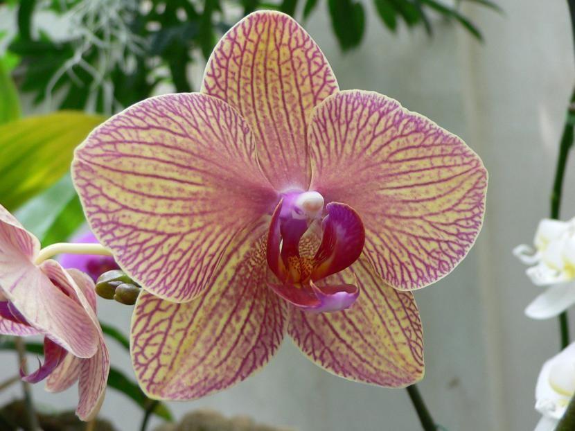¿Cómo se cuidan las orquídeas en invierno? - http://www.jardineriaon.com/como-se-cuidan-las-orquideas-en-invierno.html