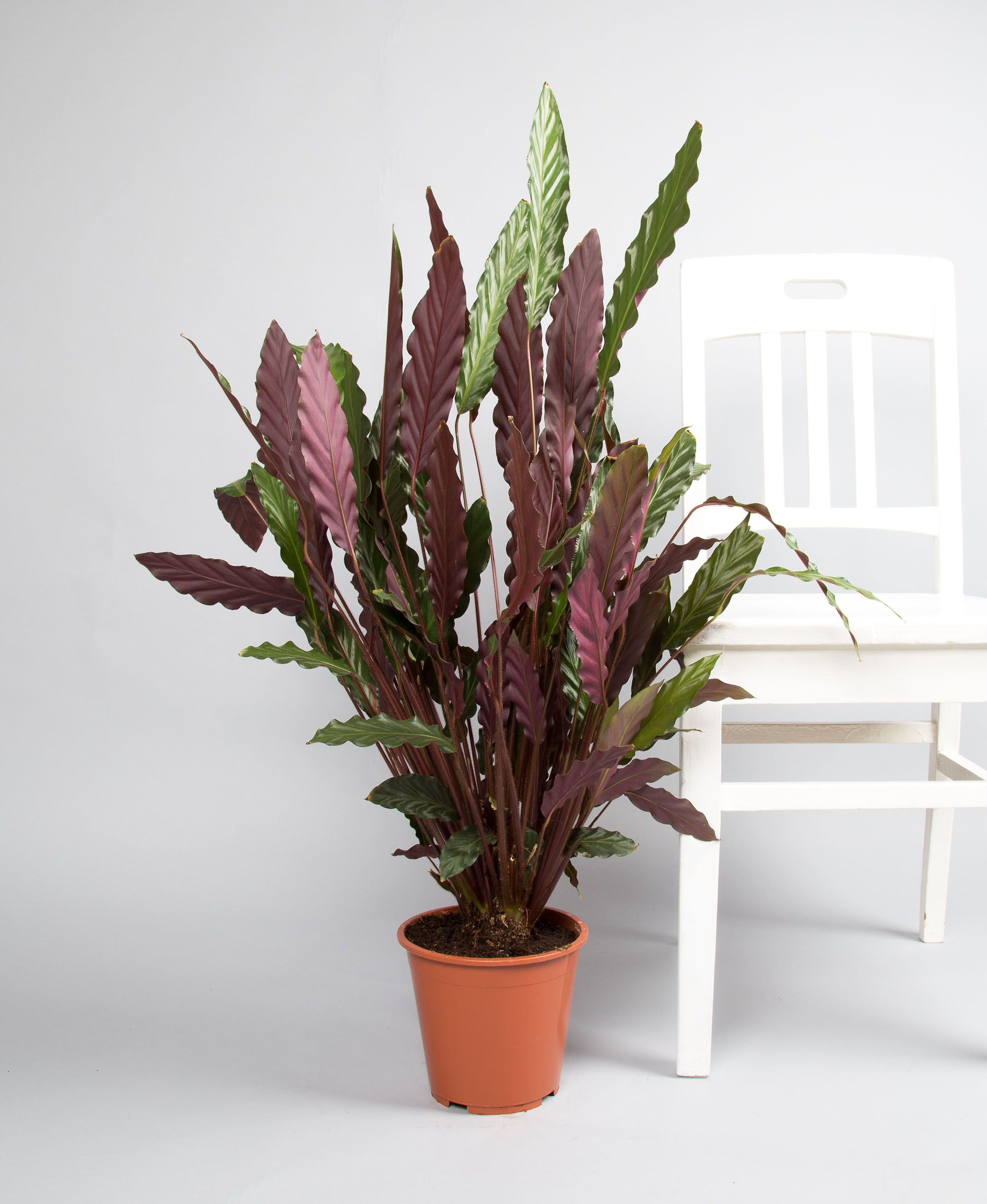 calathea rufibarba fenzl 39 wavestar 39 blomster pinterest plants houseplants and planters. Black Bedroom Furniture Sets. Home Design Ideas