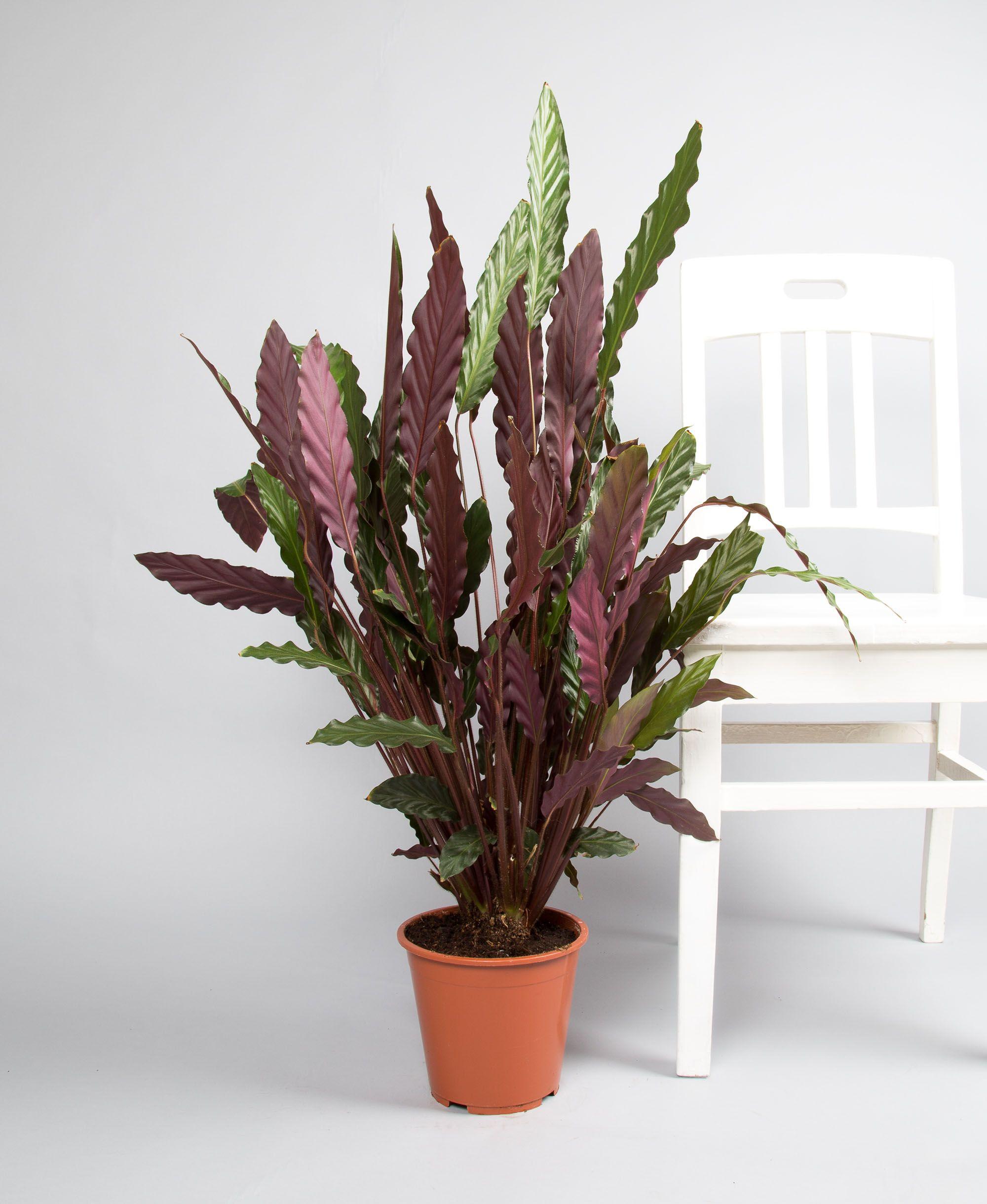 Grünpflanzen Green Plants Zimmerpflanzen: Calathea Rufibarba Fenzl 'Wavestar'