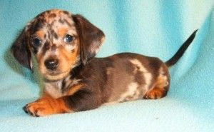 Mini Dachshund Puppies For Sale In Ohio Dachshund Puppies Dachshund Puppies For Sale Dachshund