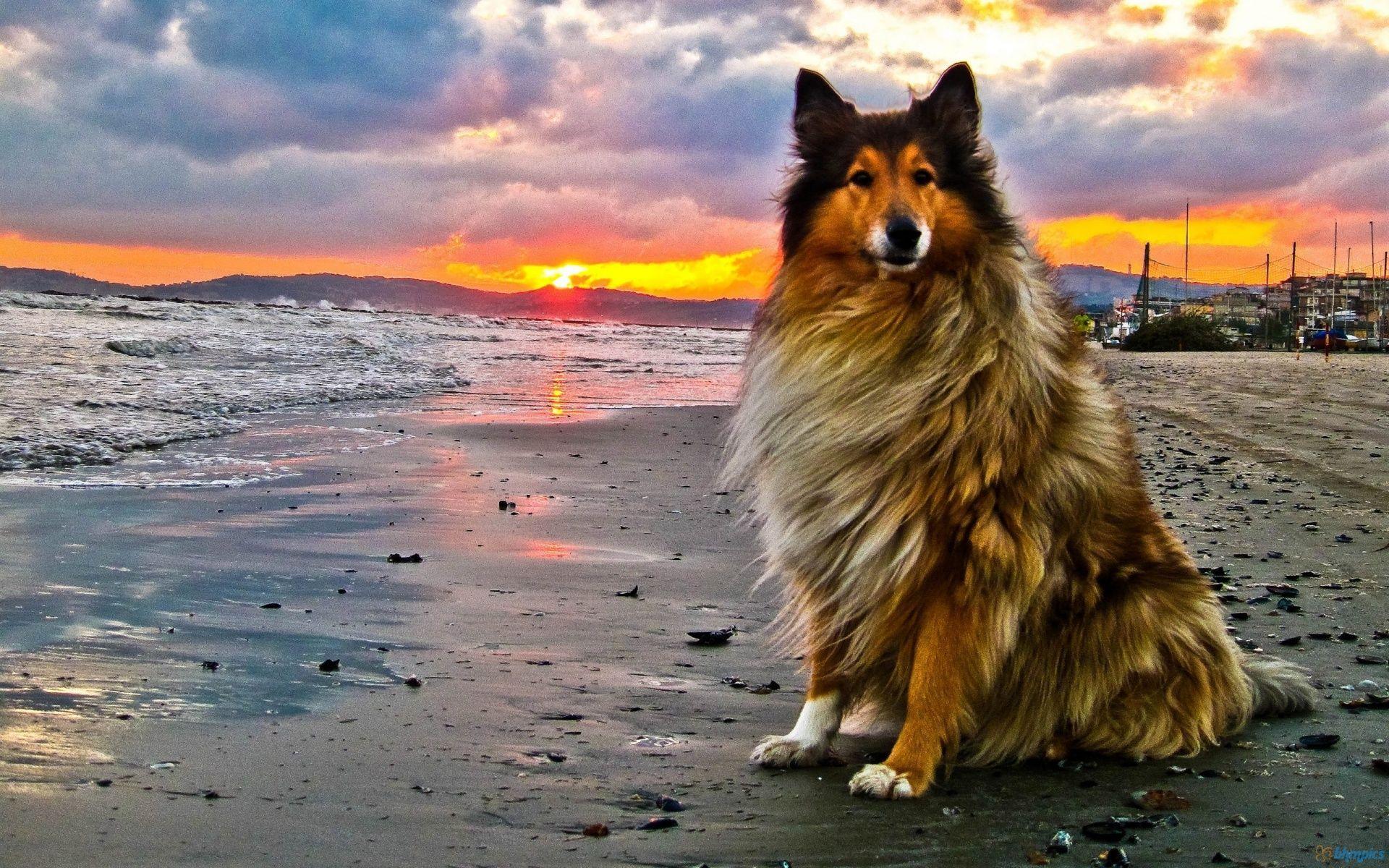dogs from ireland herdingdogonbeachatsunset2323081