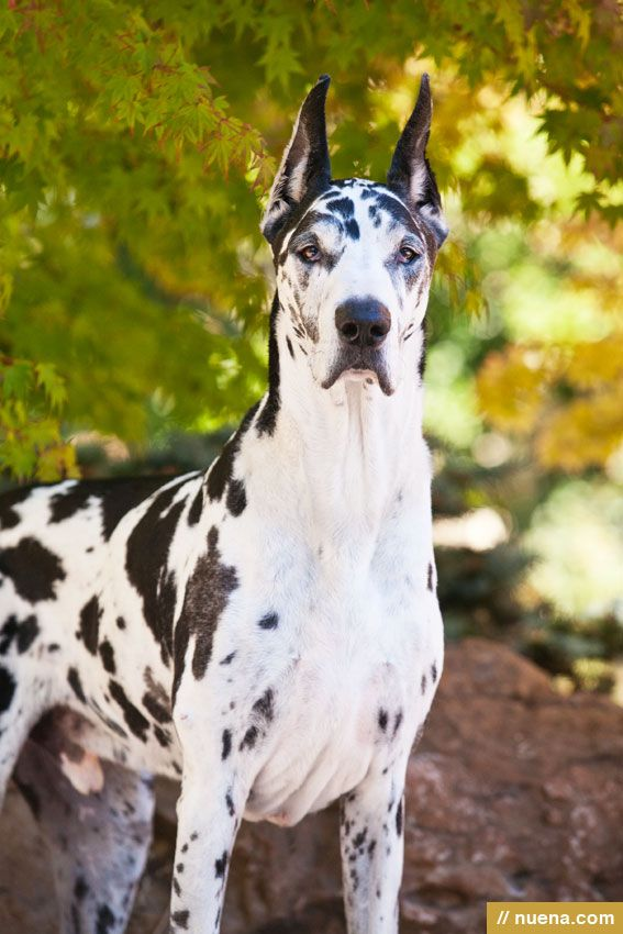 Harley the Great Dane | Kira Stackhouse Photographer HE LOOKS JUST LIKE BANDIT