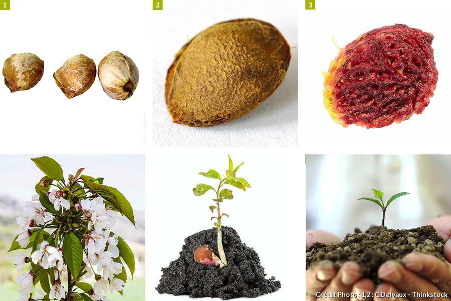 Planter des noyaux de fruits pour les faire germer (début