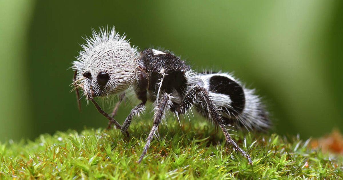 """Este lindo panda-hormiga es en realidad un """"asesino de la vaca"""" Avispa…"""