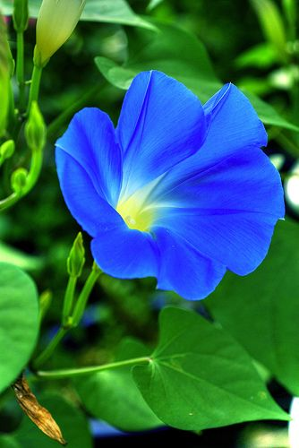 Blue Power Morning Glory Flowers Beautiful Flowers Blue Morning Glory