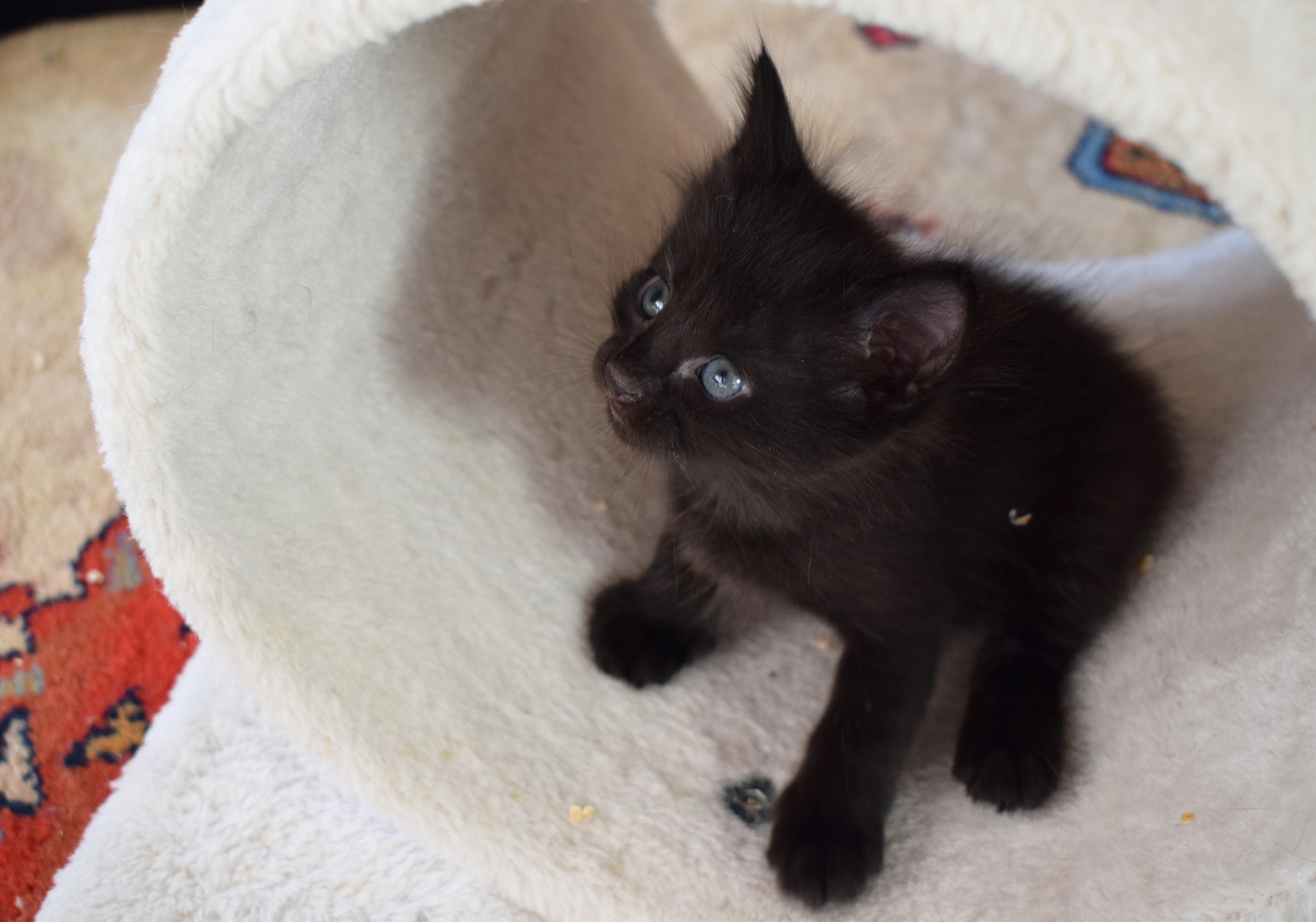 Little Black Turkish Angora Kitten She S The Smallest Of Her Litter And Such A Sweetheart Turkish Angora Cat Angora Cats Fluffy Kittens