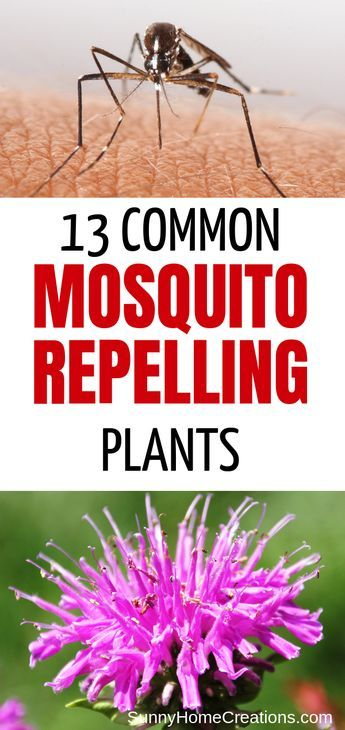 13 Best Mosquito Repellant Plants #mosquitoplants