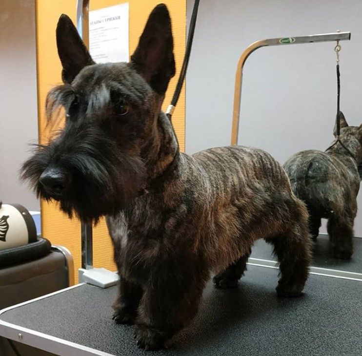 14 Best Scottish Terrier Haircuts For Dog Lovers The Paws In 2020 Scottie Terrier Scottie Puppies Scottish Terrier Puppy
