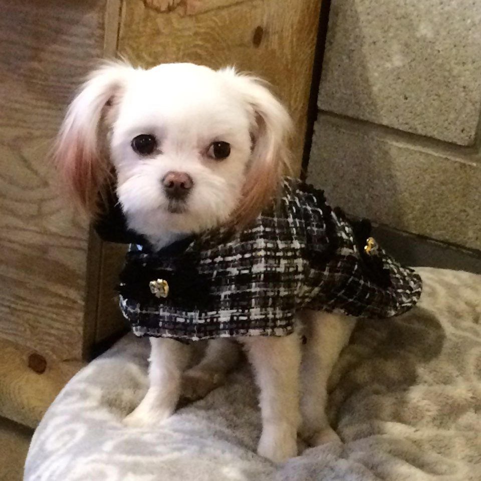 귀엽고 시크한 강아지옷 CoCCoLa 코콜라 coccola.co.kr/ 코콜라 마이 리틀 트위드 자켓