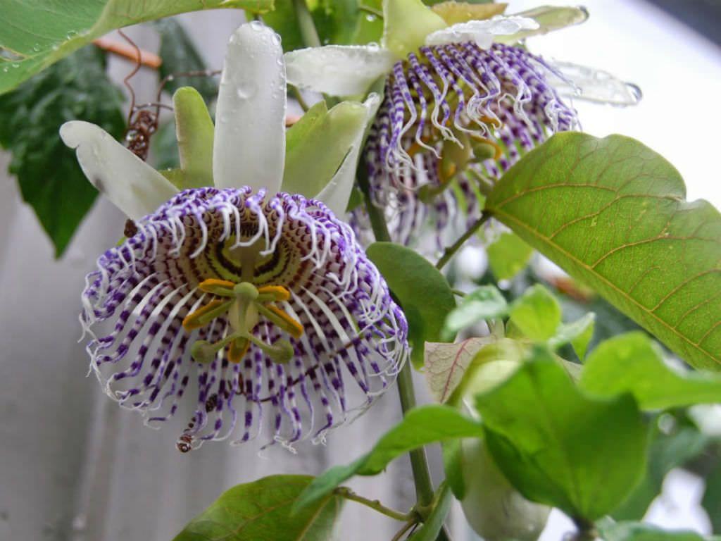 Passiflora Actinia World Of Flowering Plants Planting Flowers Passiflora Plants