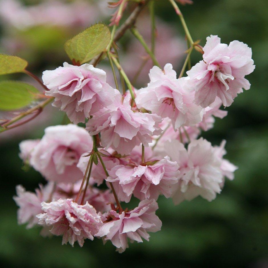 Prunus Kiku Shidare Zakura Cheal S Weeping Cherry Flowering Cherry Tree Weeping Cherry Tree Spring Flowering Trees