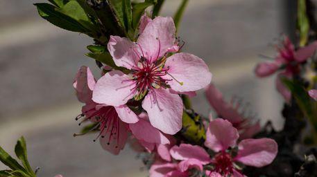 'Rosafarbene Pfirsichblüten' von Ronald Nickel bei artflakes.com als Poster oder Kunstdruck $6.48