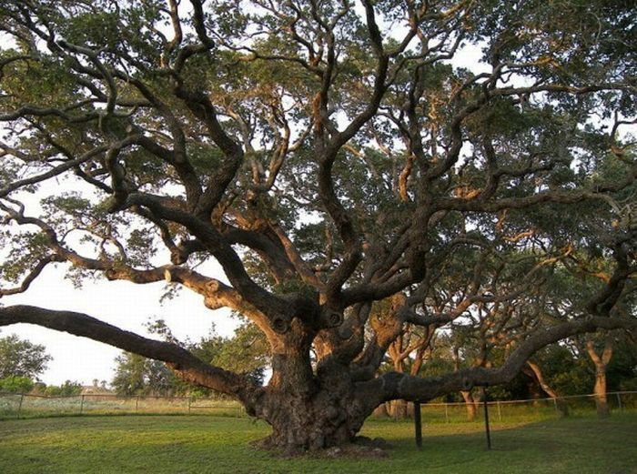 Pin By Shelly Lickliter On Nature Trees Of The Fields Big Tree Live Oak Trees Beautiful Tree