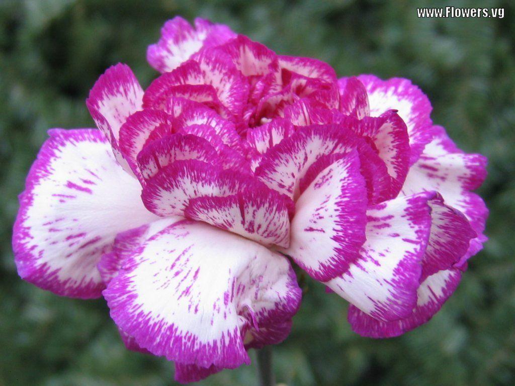 Carnation White Carnation Flower Emma Pinterest Carnation