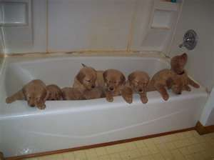 Pin By Heather Coulter On Golden Dogs Puppies Golden Puppies