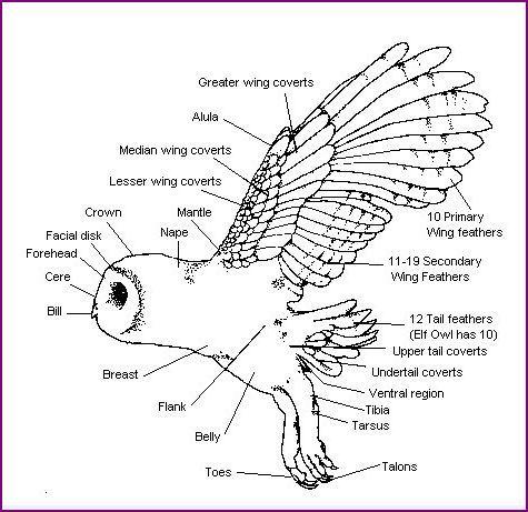 barn owl body diagram owl unit \u0026 art owl, birds, barred owlbarn owl body diagram
