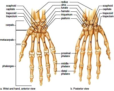 Right wrist and hand. a. Anterior view. b. Posterior view. | Human ...
