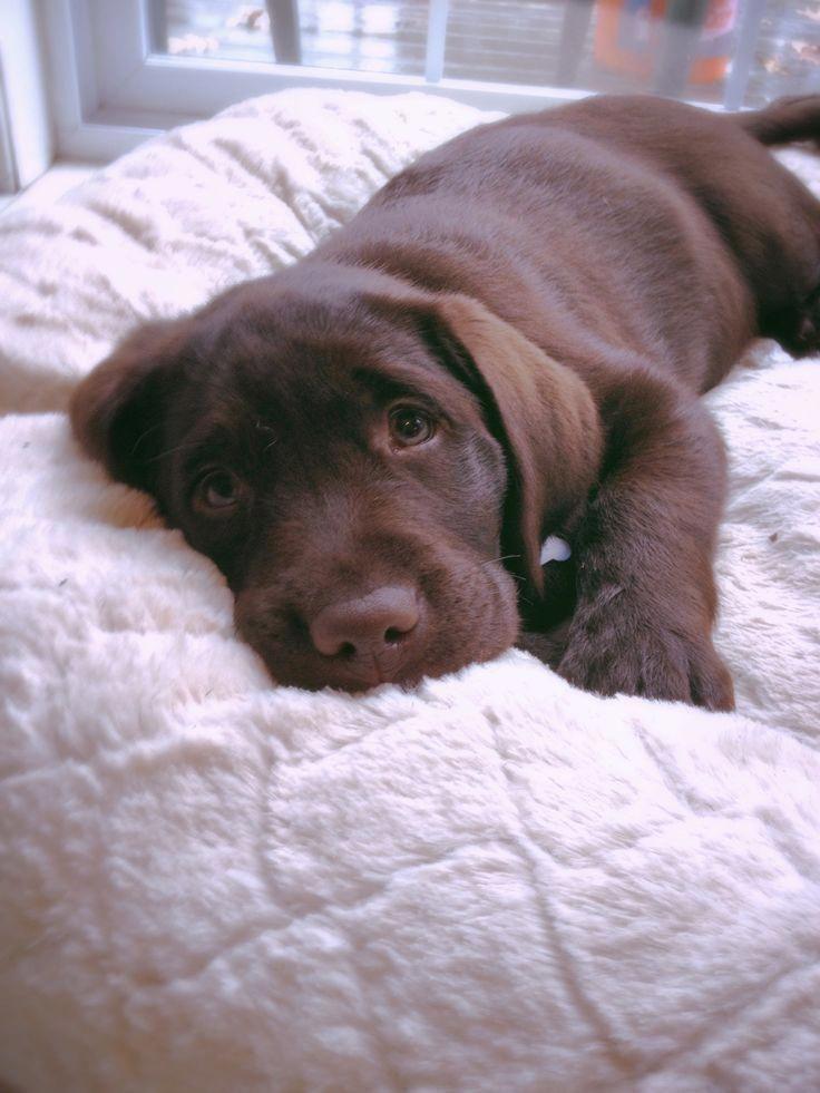 Discover The Enthusiastic Chocolate Labrador Retriever Dogs Personality Labradorite Brownlabrado Labrador Retriever Dog Personality Labrador Puppy Chocolate