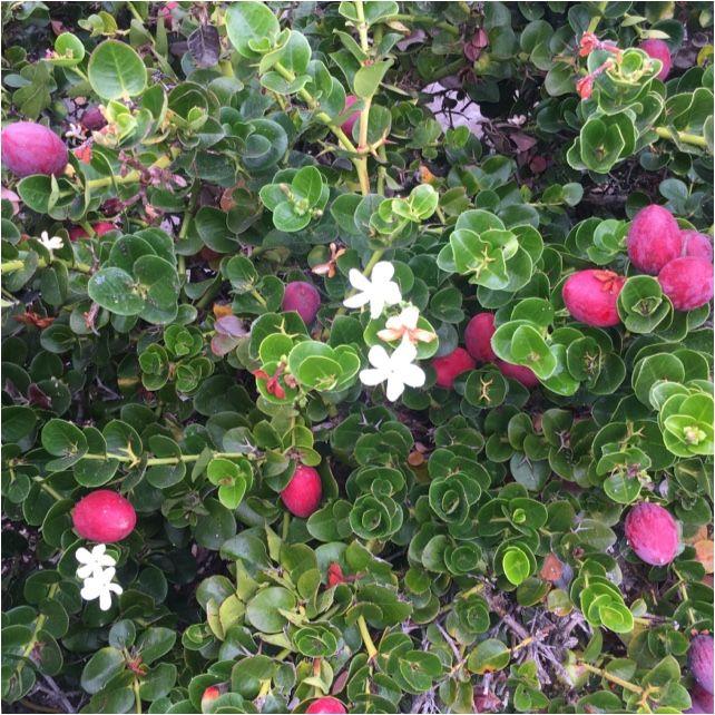 """Natal plum /"""" Carissa macrocarpa  /"""" 10 seeds"""
