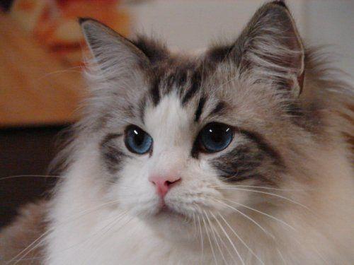 Ragdoll Cats Ragdoll Cat Ragdoll Cats For Adoption Ragdoll Cat Breeders