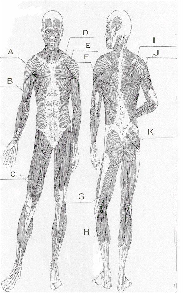 Blank Muscle Diagram Worksheet Print F in 2020   Muscle ...