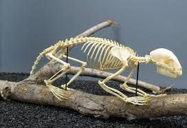 Image result for raccoon skeleton