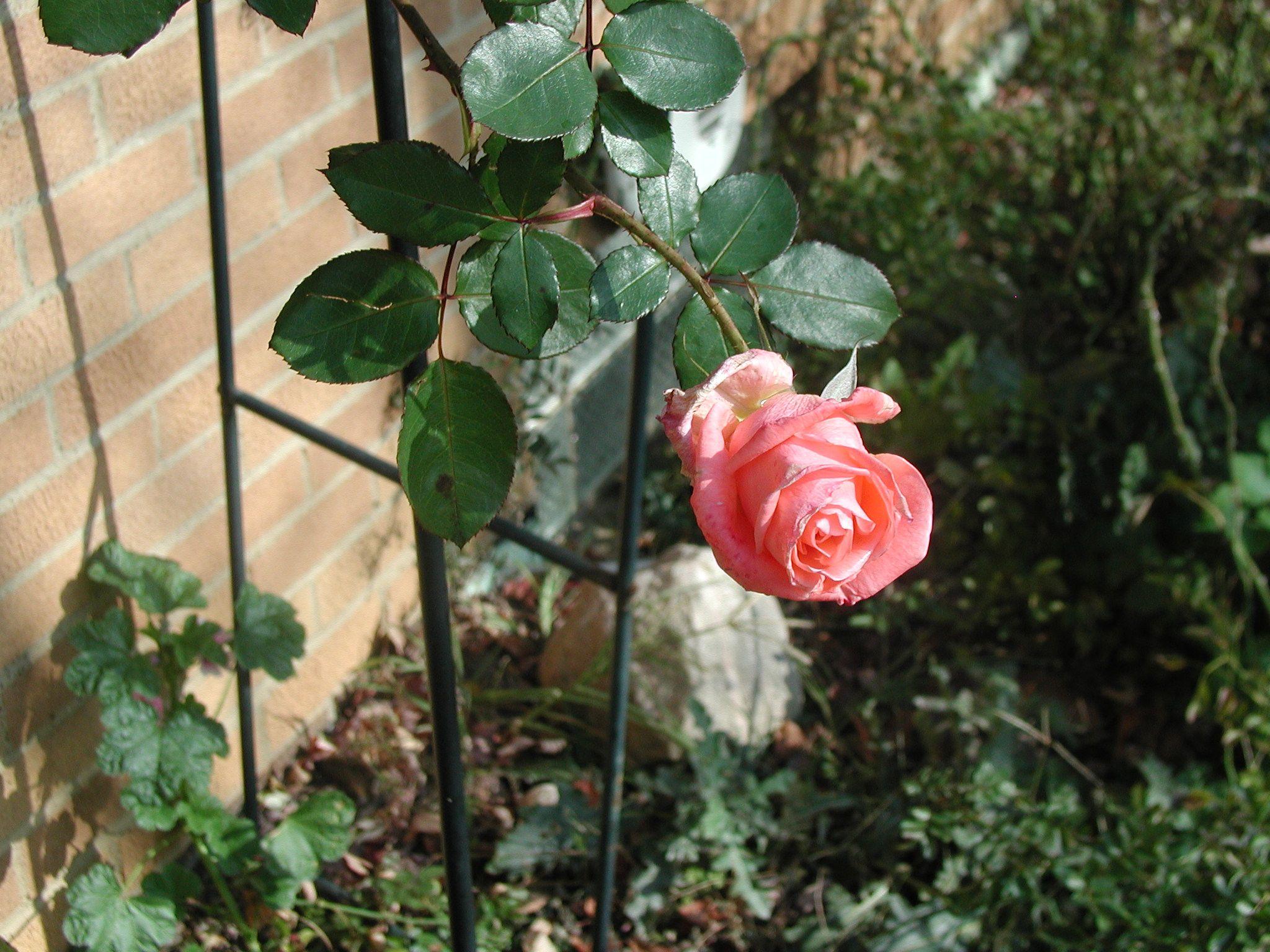 Sonia Rose Blooming November 2012 in My Back Yard