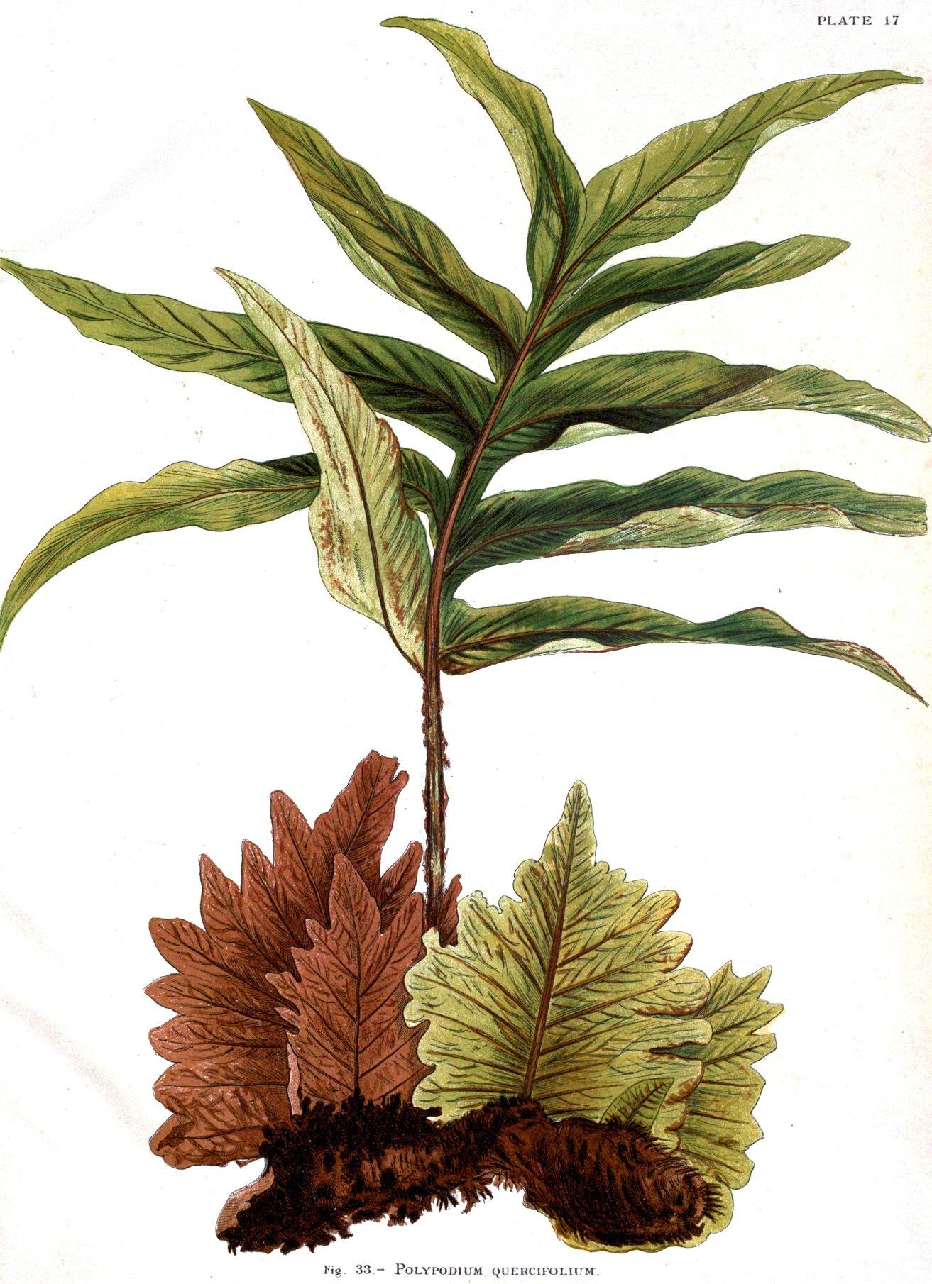 Botanical-Indian-Ferns_12.jpg 1,313×1,810 pixels