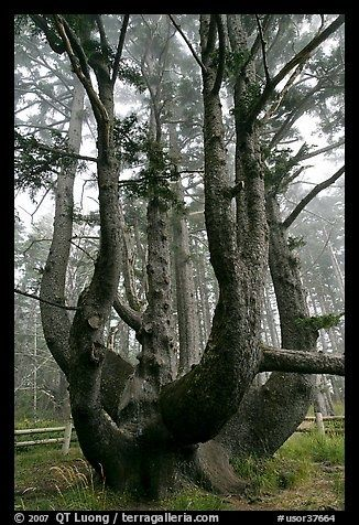 Octopus (Chandelier) tree, Oregon http://pinterest.net-pin.info ...