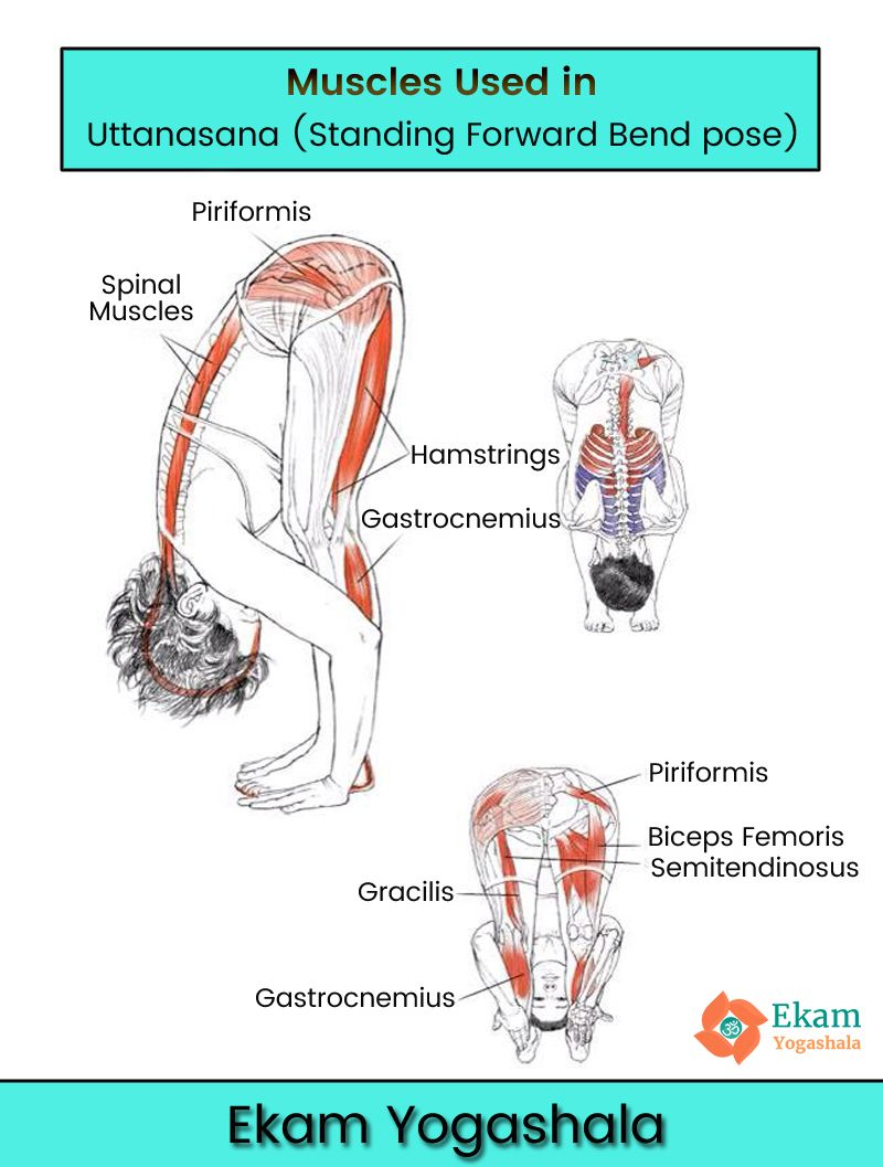 medium resolution of muscles used in uttanasana standing forward bend yoga follow ekamyogashala yogaanatomy yogapose posture asana yogateacher yogalovers yogaclass