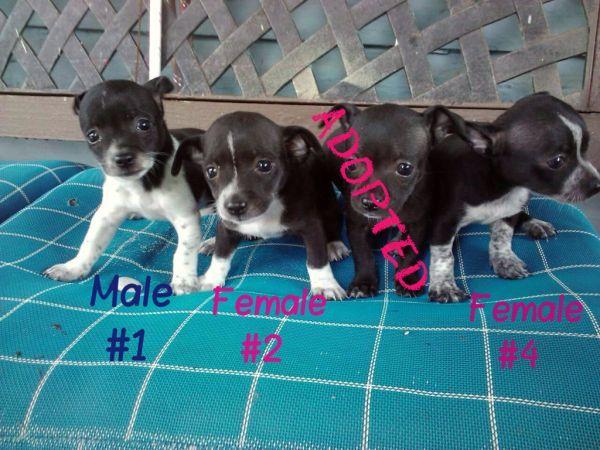 Chihuahua pups (NW Houston) Chihuahua, Pets, Pup