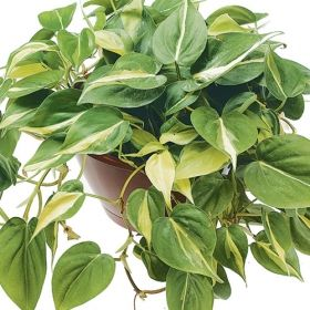 Brazil philodendron one of over 400 varieties from exotic angel plants over 400 different - Indoor plant varieties ...