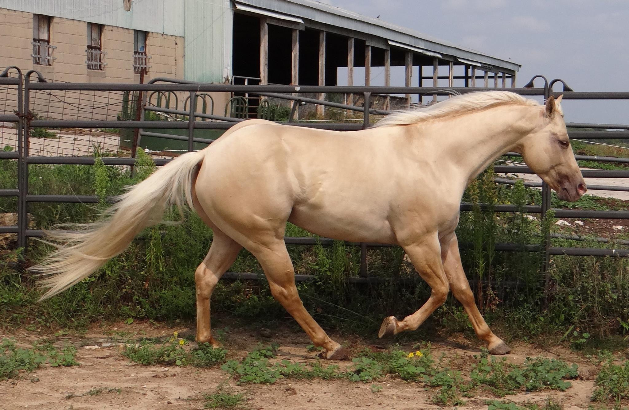 Aqha Stallion My Skip Dun It Gold Champagne Dun Platinum Quarter Horses Pony Pferd Ponys Pferde