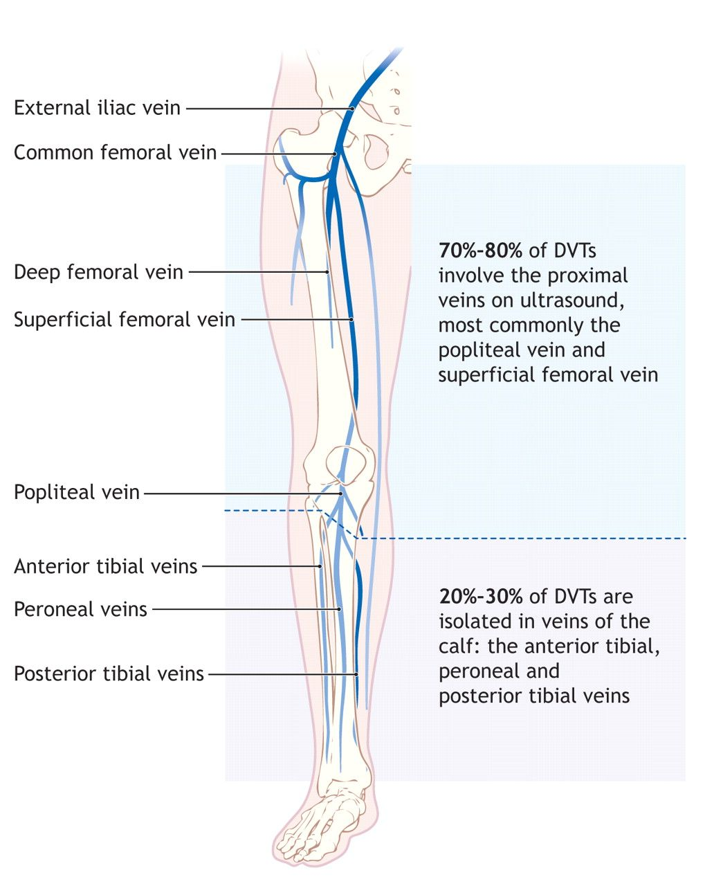 The left panel shows the anterior view of veins in the legs, and ...