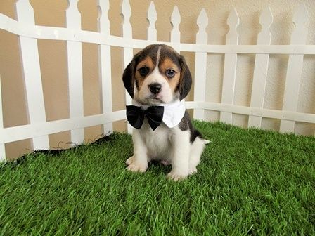 Google Image Result For Http Www Sandiegopuppy Info Wp Content Uploads Pocket Beagles For Sale San Diego Puppy Beagle Puppy Beagle Dog Pocket Beagle Puppies