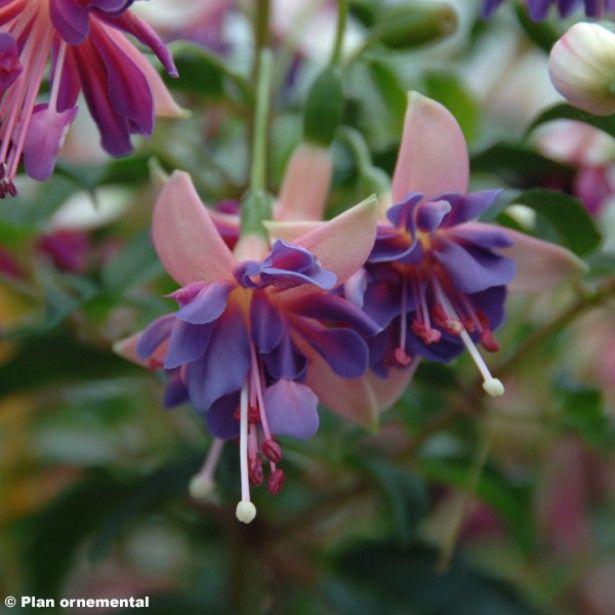 Fuchsia Shadow Dancer Amelie