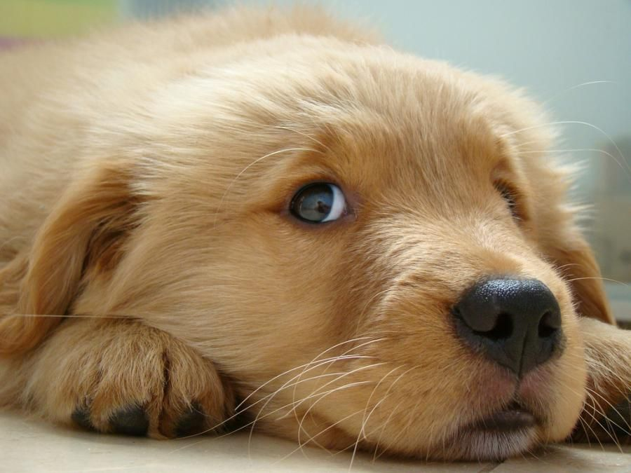 Golden Retriever Puppies Favorite Things Cute Puppies