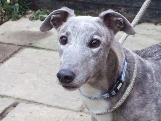 Blue brindle greyhound | Greyhound Love | Pinterest ...