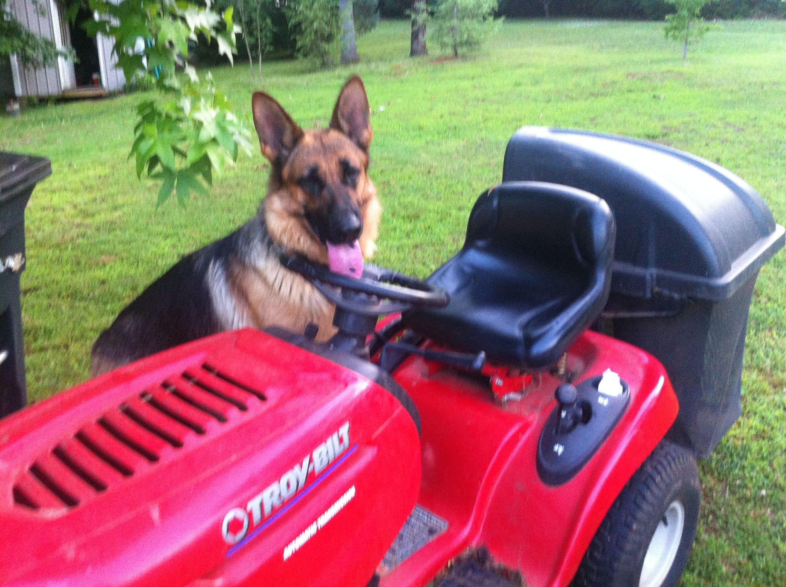 Can I help Dad !!!! Lol Cute animals, German shepherd