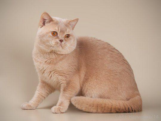 Cat Colors Project: Solids | Cat colors, Cats, Animals