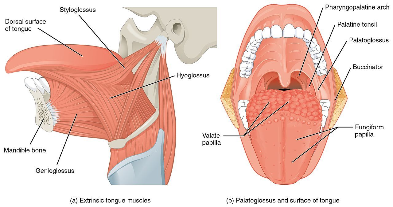 1109 muscles that move the tongue extraglos ln svaly rh pinterest com Human Tooth Diagram Labeled Human Tooth Anatomy