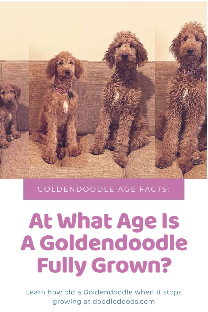 Pin on Goldendoodle Facts